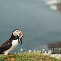 Anne Gilbert - Puffin with Sandeels