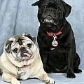 Maxine Bochnia - Pug Buddies in Color