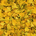 Rachel Cohen - Pure Ginkgo Leaves