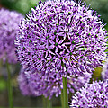 Valerie Garner - Purple Allium Flowering...