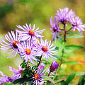 John Kiss - Purple Aster