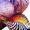 Pamela Patch - Purple Bearded Iris