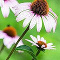 Dawna  Moore Photography - Purple Coneflowers