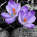Richard Andrews - Purple Crocuses - f2g