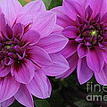 Photographic Art and Design by Dora Sofia Caputo - Purple Dahlias