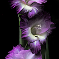 Jennie Marie Schell - Purple Gladiola Flowers...