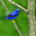 Tony Beck - Purple Honeycreeper