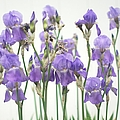 Suzanne Powers - Purple Iris Spring...