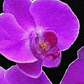 Anthony Fishburne - Purple Orchid