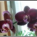 Kristy Cotone - Purple Orchids