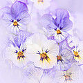 Elena Elisseeva - Purple Pansies