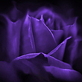 Jennie Marie Schell - Purple Rose Flower...