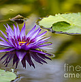 Sabrina L Ryan - Purple Spiked Water Lily