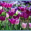 Rosanne Jordan - Purple Tulip Bliss