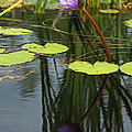 Suzanne Gaff - Purple Water Lily and...