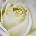 Jennie Marie Schell - Queen Ivory Rose Flower 2