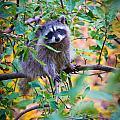Inge Johnsson - Raccoon