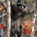 Chris Scroggins - Racoon in Tree