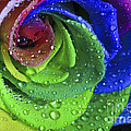 Tracy  Hall - Rainbow Flower Rose