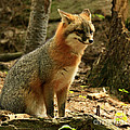 Inspired Nature Photography By Shelley Myke - Rare Grey Fox on Alert...