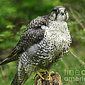 Inspired Nature Photography By Shelley Myke - Rare Gyrfalcon in a...
