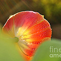 Kaye Menner - Rays of Sunshine on Tulip