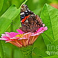 Byron Varvarigos - Red Admiral Butterfly...
