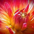 Wendy Yee - Red And Yellow Dahlia In...