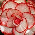 Bruce Nutting - Red Begonia