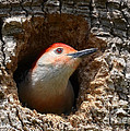 Kathy Baccari - Red Bellied Woodpecker...