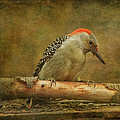 Susan Capuano - Red-bellied Woodpecker