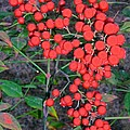 Barbie Corbett-Newmin - Red Berries on Granite...