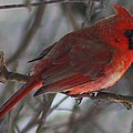 Bruce Bley - Red Cardinal at Rest