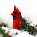 Christina Rollo - Red Cardinal