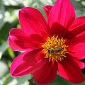Christiane Schulze Art And Photography - Red Dahlia And Bee