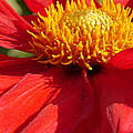 Christiane Schulze Art And Photography - Red Dahlia Coccinea