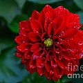Dorothy Pinder - Red Dahlia