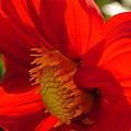 Christiane Schulze Art And Photography - Red Dahlia Elegance