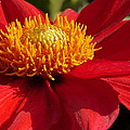 Christiane Schulze Art And Photography - Red Dahlia Starlet