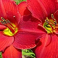MTBobbins Photography - Red Daylily Twins