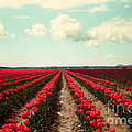 Sylvia Cook - Red Field Of Tulips