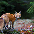 Jim Cumming - Red Fox - Algonquin Park