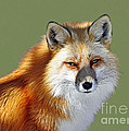 Rodney Campbell - Red Fox
