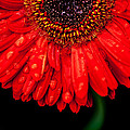 Isabel Laurent - Red Garbera Daisy...
