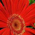 Bruce Bley - Red Gerber Daisy Up Close