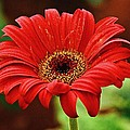 Johnson Moya - Red Gerbera Flower