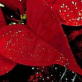 Danielle  Parent - Red Glittered Poinsettias
