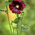 Sabrina L Ryan - Red Hollyhock