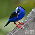 Nina Stavlund - Red-legged Honeycreeper..