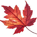 Vishwanath Bhat - Red maple leaf in all...
